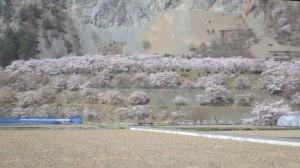 大鹿村 大西公園 桜 撮影 2014年4月19日 Takashi
