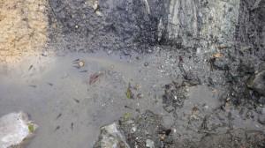 おまけ:水たまりのオタマジャクシ。上に中央構造線の色が変わっている岩が見える。