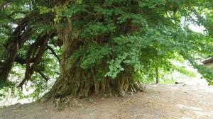 逆さには見えないが、確かに下向きに枝が伸びている