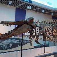 シガマッコウクジラの化石標本