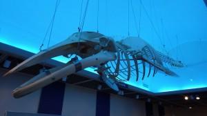 比較のため、現生のミンククジラ骨格標本が並んでいる
