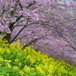 松田山の河津桜 2016年2月21日撮影