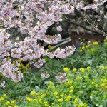 松田山の河津桜② 2017年2月12日撮影