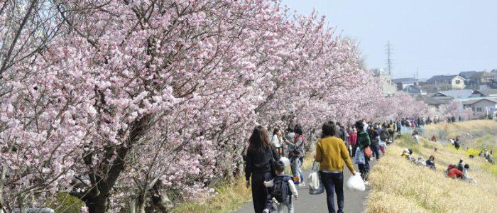 春木径・幸せ道桜まつり① 2017年3月20日撮影
