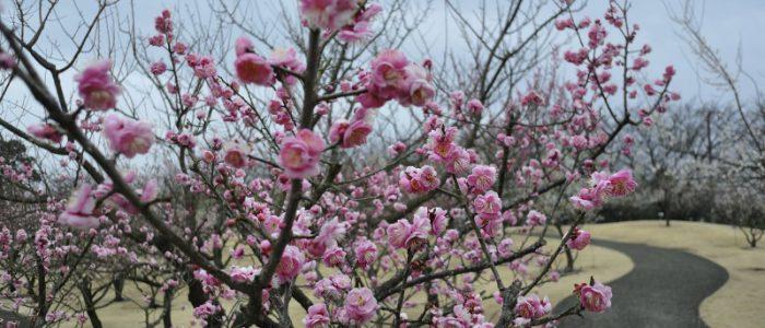 フラワーガーデンの梅① 2017年2月5日撮影