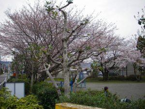 屋敷下第1公園の桜 2017年4月10日撮影