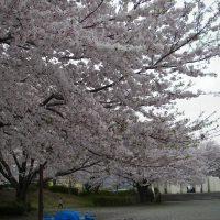 開成駅前公園の桜 2017年4月10日撮影