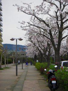 開成駅東口の桜 2017年4月10日撮影