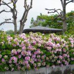 開成駅前公園のさつき 2017年4月29日撮影