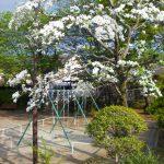 下島屋敷下第1公園のハナミズキ 2017年4月29日撮影