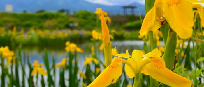 ひょうたん池の菖蒲① 2017年5月14日撮影