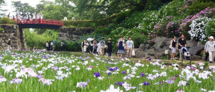 小田原城址公園の花菖蒲② 2015年6月7日撮影