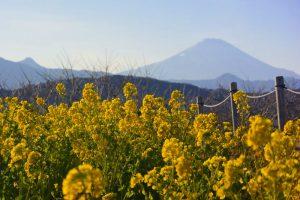 吾妻山公園の菜の花 2018年1月14日撮影