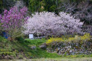 花咲く里山桜まつり① 2017年4月2日撮影