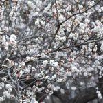 フラワーガーデンの梅③ 2017年2月5日撮影