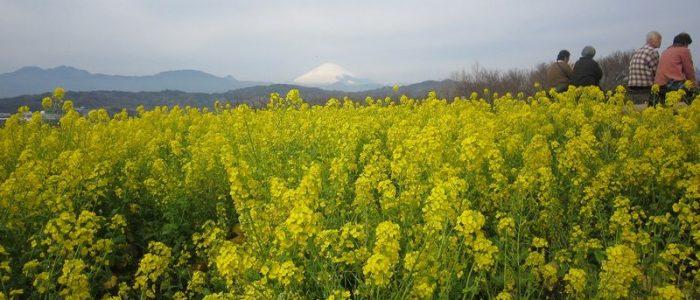 2020年2月15日 吾妻山公園菜の花と曽我梅林ウォーキング