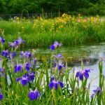 ひょうたん池の菖蒲② 2017年5月14日撮影