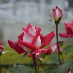 小田原フラワーガーデン薔薇① 2017年5月14日撮影