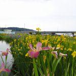 ひょうたん池の菖蒲③ 2017年5月14日撮影
