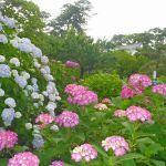 小田原城址公園のあじさい① 2015年6月7日撮影