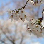 小田原城址公園 2019年3月31日撮影