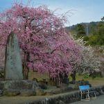 瑞雲寺の枝垂れ梅